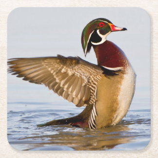 Wood Duck male flapping wings in wetland Square Paper Coaster