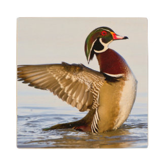 Wood Duck male flapping wings in wetland Wood Coaster