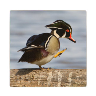 Wood Duck on log in wetland Maple Wood Coaster