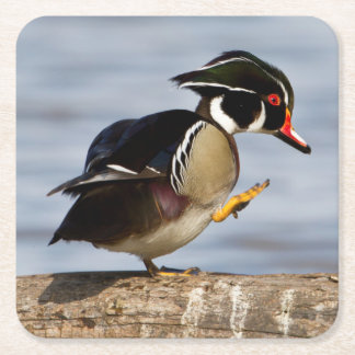 Wood Duck on log in wetland Square Paper Coaster