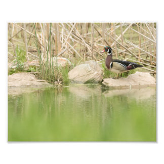 Wood Duck on the Rocks of Pond Photo Print