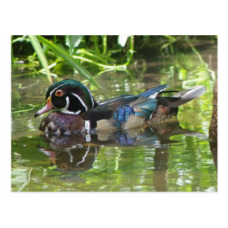 wood duck postcard