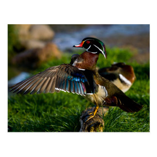 Wood Duck Wing Postcard