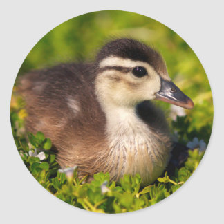 Wood duckling on the shoreline of Lindo Lake Classic Round Sticker