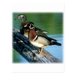 Wood Ducks Postcard