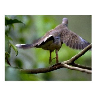 Wood pigeon taking off postcard