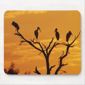 Wood Stork, Mycteria americana,adults at Mouse Pad
