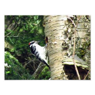 Woodpecker Photo Print