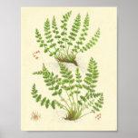 Woodsia Fern Print
