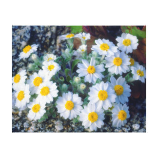 Woolly Daisy Wildflowers Stretched Canvas Prints