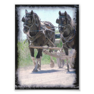 Working Amish Pinto Drafts Photo Print