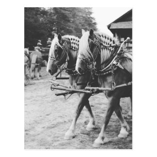 Working Draught   Horses in Black and White Postcard