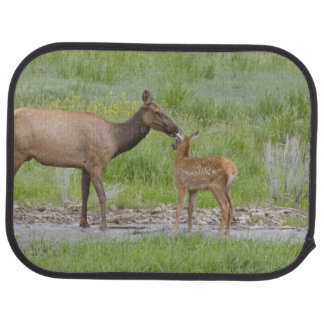 WY, Yellowstone National Park, Elk calf and Floor Mat