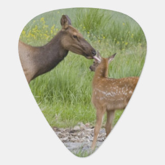 WY, Yellowstone National Park, Elk calf and Guitar Pick
