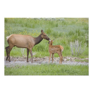 WY, Yellowstone National Park, Elk calf and Photograph