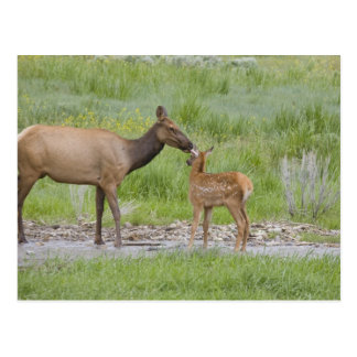 WY, Yellowstone National Park, Elk calf and Postcard