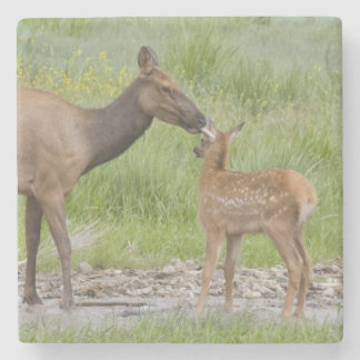 WY, Yellowstone National Park, Elk calf and Stone Beverage Coaster