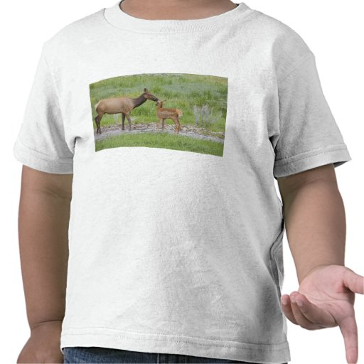 WY, Yellowstone National Park, Elk calf and Shirt