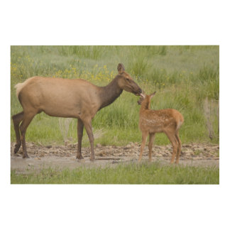 WY, Yellowstone National Park, Elk calf and Wood Canvas