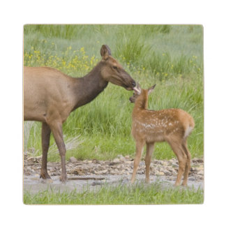 WY, Yellowstone National Park, Elk calf and Wood Coaster