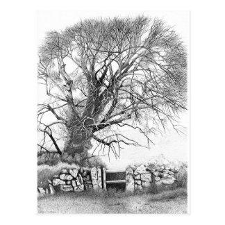 Wych Elm.  Postcard of original