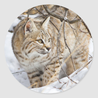 Wyoming, Sublette County, Bobcat in winter Round Sticker