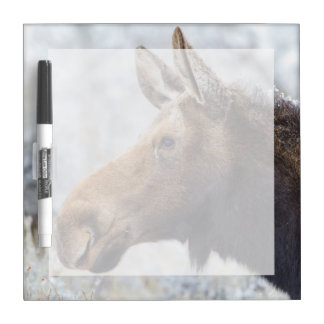 Wyoming, Sublette County, head shot of cow Moose Dry Erase White Board