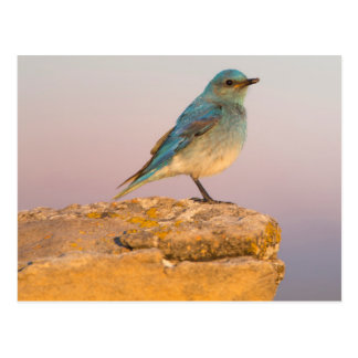 Wyoming, Sublette County, Mountain Bluebird male Postcard