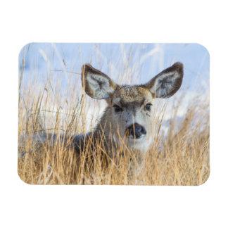 Wyoming, Sublette County, Mule Deer doe resting Rectangular Photo Magnet