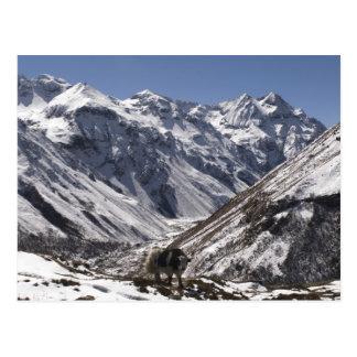 Yak near Mt. Jhomolari,  Jangothang Jigme Dorji Postcard