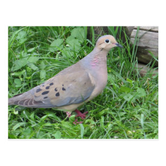 Yard Dove Postcard