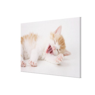 Yawning Kitten on White Background. Gallery Wrap Canvas