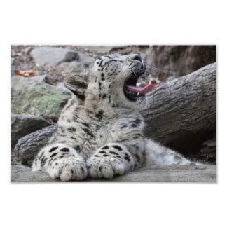 Yawning Snow Leopard Cub Photo Print