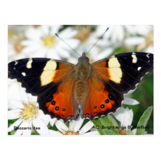 Yellow Admiral butterfly Postcard