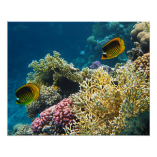 Yellow and Black Butterfly Fish Poster