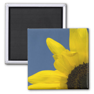 Yellow and Blue Sunflower Corner Magnet