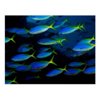Yellow and blueback fusil fish in Fiji Postcard