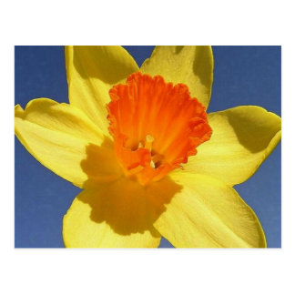 Yellow and Orange Colored Daffodil Postcard