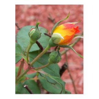 yellow and orange rose bud postcard