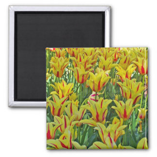 Yellow And Red Tulips... Square Magnet