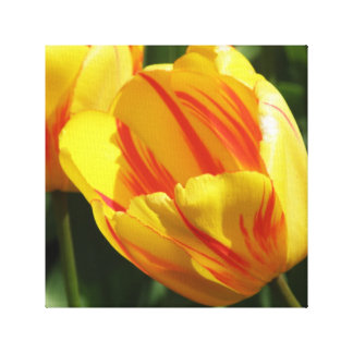 Yellow and Red Variegated Tulip Canvas Print