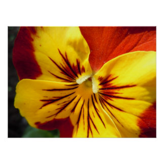 Yellow and Rusty Red Pansy Poster