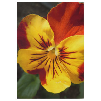 Yellow and Rusty Red Pansy Wood Poster