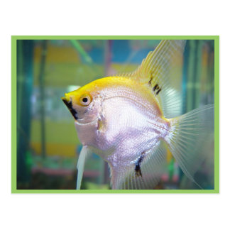Yellow And Silver Fish In The Tank Post Card