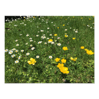 Yellow and White Daisies Photo Prints