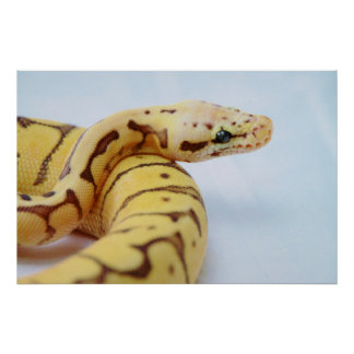 Yellow Ball Python Close Up Poster