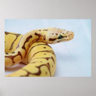 Yellow Ball Python Close Up Poster