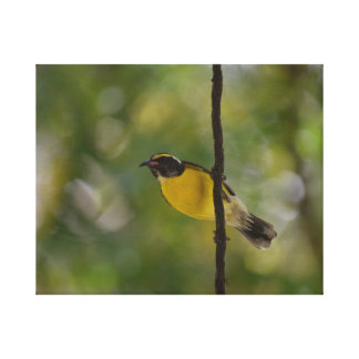 Yellow Bananaquit Bird Stretched Canvas Print