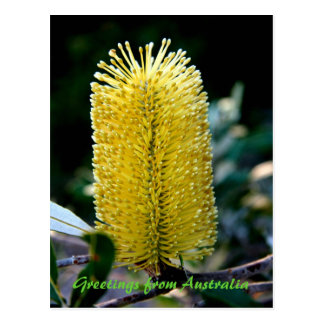 Yellow Banksia 2, Greetings from Australia Postcard
