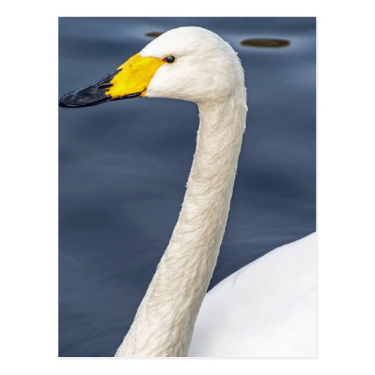 Yellow beaked swan postcard